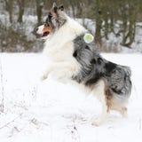 Australian shepherd moving in winter Royalty Free Stock Photography