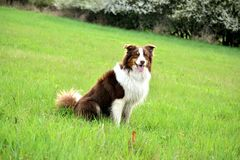 Australian Shepherd. My Australian shepherd. Call him Dag, couse, well, he is Royalty Free Stock Photo
