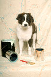 Australian Shepherd and Paint Cans Royalty Free Stock Images