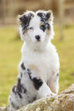 Australian shepherd. In the park Royalty Free Stock Photos
