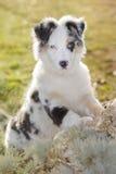 Australian shepherd Stock Photography