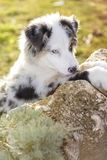 Australian shepherd. In the park Stock Images