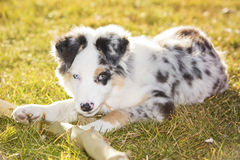Australian shepherd. In the park Royalty Free Stock Photography