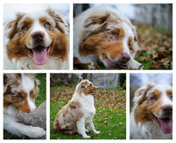 Australian Shepherd photo set Royalty Free Stock Photos