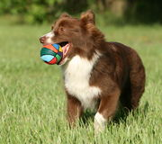 Australian Shepherd playing ball Stock Image