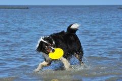 Australian Shepherd playing frisbee Stock Images
