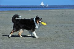Australian Shepherd playing frisbee Stock Images