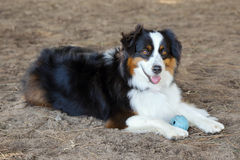Australian Shepherd. Playing with a rubber ball at a dog park Stock Photo
