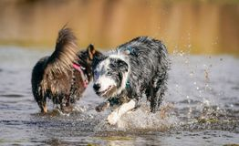 Australian Shepherd Playing in Water. Australian Shepherd dog running and playing in river water. Colorful reflection in the background stock image