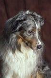 Australian shepherd Royalty Free Stock Photography