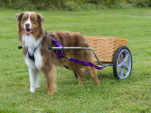 Australian Shepherd pulling a dog cart Stock Image