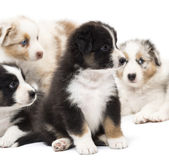 Australian Shepherd puppies, 6 weeks old Stock Photos