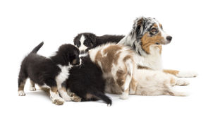 Australian Shepherd puppies, 6 weeks old Stock Photography