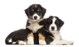 Australian Shepherd puppies lying on another Stock Image