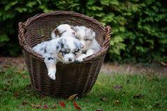 Australian Shepherd puppies in wicker basket exploring world around. Cute three Australian Shepherd puppies in wicker basket exploring world around stock image