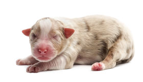 Australian Shepherd puppy, 1 day old, lying Royalty Free Stock Photography