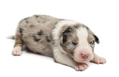 Australian Shepherd puppy, 10 days old, lying Royalty Free Stock Photo