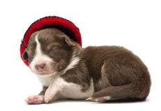 Australian Shepherd puppy, 12 days old Royalty Free Stock Image