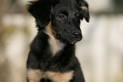 Australian shepherd puppy Stock Photo