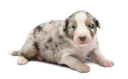 Australian Shepherd puppy, 16 days old, lying Royalty Free Stock Photos
