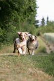 Australian shepherd puppy Royalty Free Stock Images