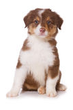 Australian Shepherd puppy Stock Photos