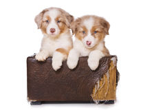 Australian Shepherd puppy Royalty Free Stock Photo