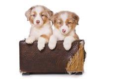Australian Shepherd puppy Royalty Free Stock Photo