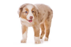 Australian Shepherd puppy Stock Images
