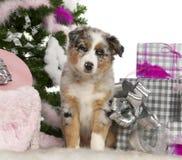Australian Shepherd puppy, 2 months old Royalty Free Stock Photo