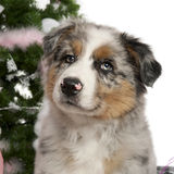 Australian Shepherd puppy, 2 months old Stock Photo