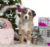 Australian Shepherd puppy, 2 months old Royalty Free Stock Images