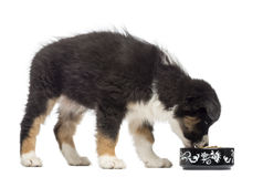 Australian Shepherd puppy, 2 months old Royalty Free Stock Photos