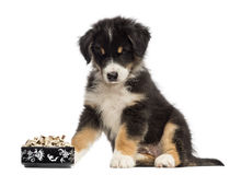 Australian Shepherd puppy, 2 months old, sitting Royalty Free Stock Photos