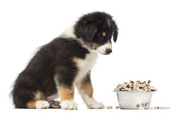 Australian Shepherd puppy, 2 months old, sitting Royalty Free Stock Images