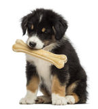Australian Shepherd puppy, 2 months old, sitting Royalty Free Stock Image