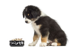 Australian Shepherd puppy, 2 months old, sitting Stock Photos