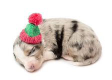 Australian Shepherd puppy, 21 days old, lying Royalty Free Stock Image