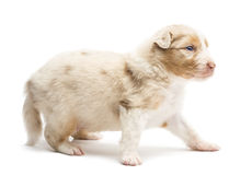 Australian Shepherd puppy, 22 days old, standing Stock Images