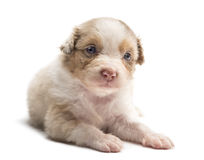 Australian Shepherd puppy, 24 days old, lying Royalty Free Stock Image