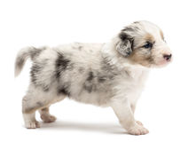 Australian Shepherd puppy, 24 days old, standing Royalty Free Stock Images