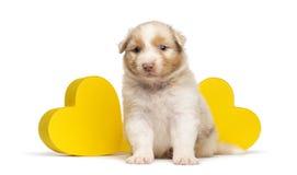 Australian Shepherd puppy, 27 days old, sitting Stock Image