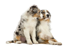 Australian Shepherd puppy, 3 months old, sitting Royalty Free Stock Photography