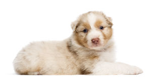 Australian Shepherd puppy, 30 days old, lying Stock Photos