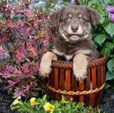 Australian Shepherd Puppy Stock Photos