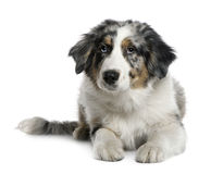 Australian Shepherd puppy, 4 months old Stock Photos