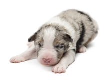 Australian Shepherd puppy, 7 days old, lying Royalty Free Stock Photography