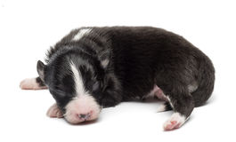 Australian Shepherd puppy, 7 days old, lying Royalty Free Stock Images