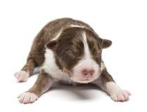 Australian Shepherd puppy, 7 days old, lying Stock Images