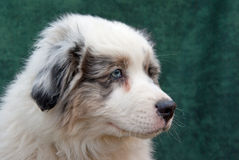 Australian shepherd puppy. Against green backdrop royalty free stock photos